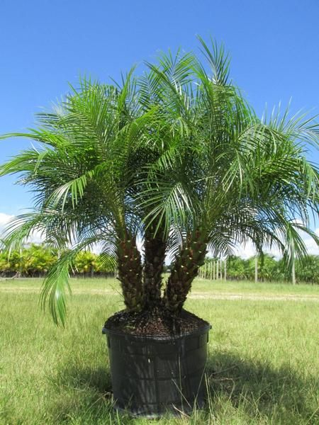 Robellini Palm Palm Trees Landscaping Trees To Plant