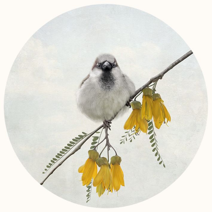 A little sparrow on the a branch of the NZ Kowhai tree. Photo by Nathan Secker, creative edit by Raw + design. Available as art-prints and cards from www.imagevault.co.nz