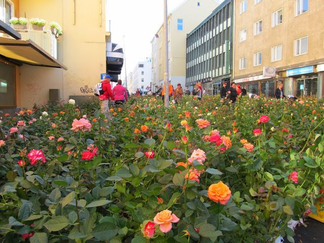 A street full of roses in Oulu, Finland.