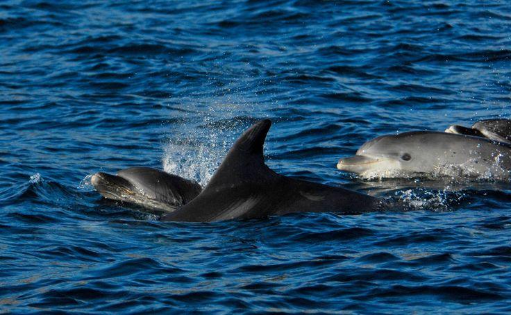 Dolphins in the Sado Estuary