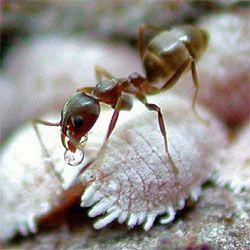 Controlling Mealybugs Organically