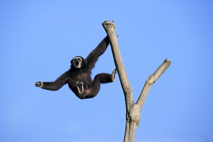 """Une étude révèle que les vocalises des gibbons constituent un langage d'une richesse insoupçonnée. Un congénère peut être averti : """"Eloigne-toi des branches basses car il pourrait y avoir un serpent caché là."""""""