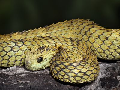 Atheris hispida also known as the Hairy Bush Viper, or Rough-scaled Tree Viper. If you don't think these guys are cute, you're wrong