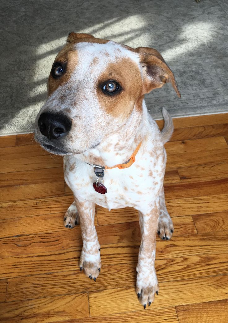 Adopt Gus (was Gil) on Petfinder Australian cattle dog