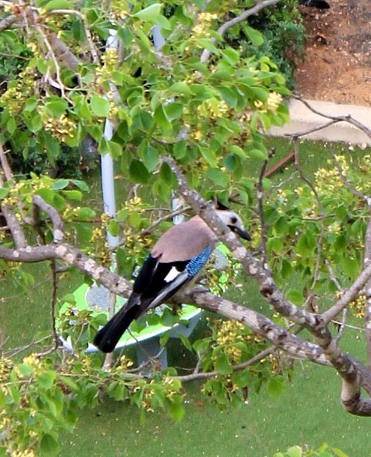 A jay in front of my window