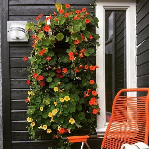 Er fornøyd med denne i år☺️tre kurver på vegg med blomkarser og jordbær,jordbærene er ferdig og nå har blomkarsene tatt over🌼#myhome #eksterior #eksteriør #blomkarse #terrasse #blomster#hage#homedecoration #homedecor#plantwall #rom123