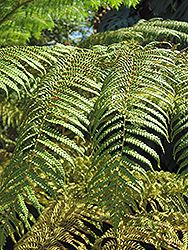 Click to view full-size photo of Australian Tree Fern (Cyathea cooperi) at Pender Pines Garden Center