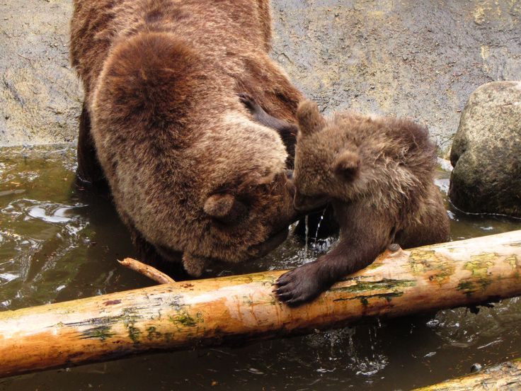 Spelende beer met welp
