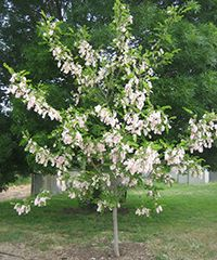 pink wisteria - decaisneana Highly admired, deciduous graceful tree with open growth habit and slender branches. Rapidly growing tree with distinctive white bark at maturity. Foliage turns yellow in autumn. A very hardy tree that is easy to grow. Tolerant of damp conditions, extreme cold and wind exposure. Growth to 8-10m.