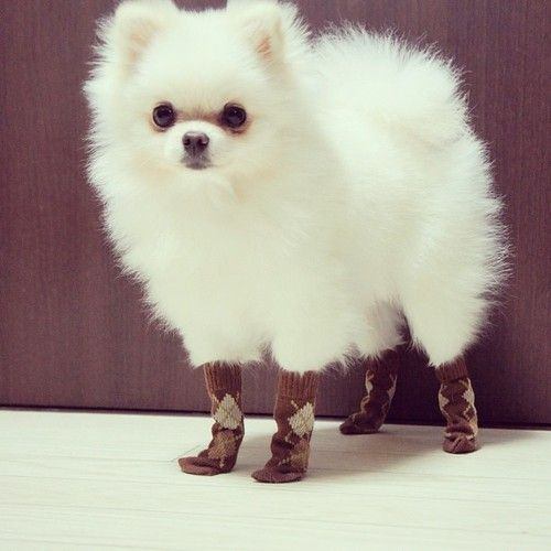 pomeranian in socks brb while I die laughing