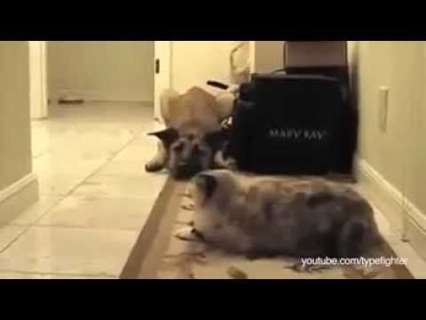 Dogs Terrified Of Walking Past Cats, A Dramatic Compilation | HUFFINGTON POST COMEDY - YouTube