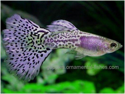 Lavender grass tail guppy