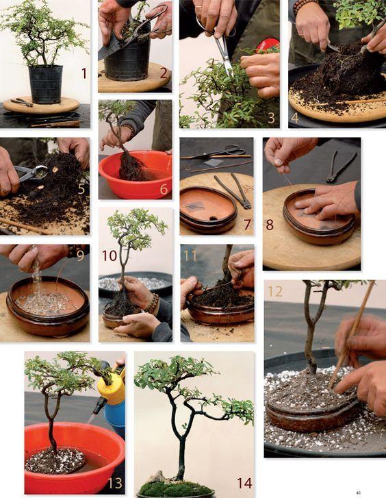 Aqui te dejamos unos practicos pasos para crear un bonsai 1. Pyracantha angustifolia comprada en el vivero. 2. Cortar el envase hasta el nivel de la tierra, para ver bien la base del árbol. 3. Trab...