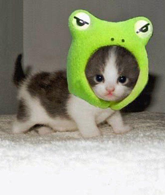 Eu sou um sapo  rsrs - Gato  com acessório de sapo