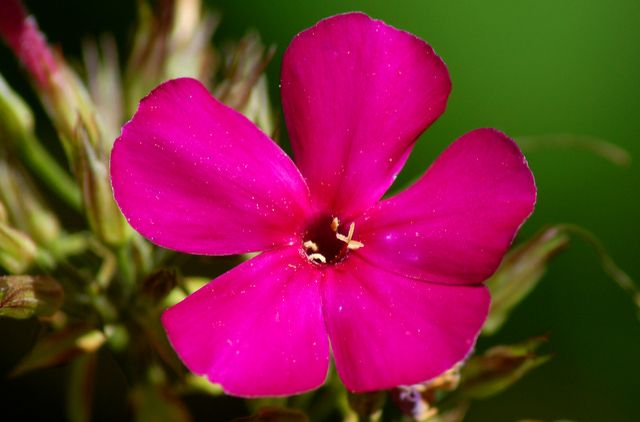 """A Ruby Volcano (Doesn't That Sound Exciting?): Volcano Ruby is a type of garden phlox or """"tall phlox"""" (Phlox paniculata). I value P. paniculata as one of the most reliable flowering perennials for the summertime, offering decent variety and longevity. Learn about the different types of phlox at http://landscaping.about.com/od/perennialflowers/p/Garden-Phlox.htm"""