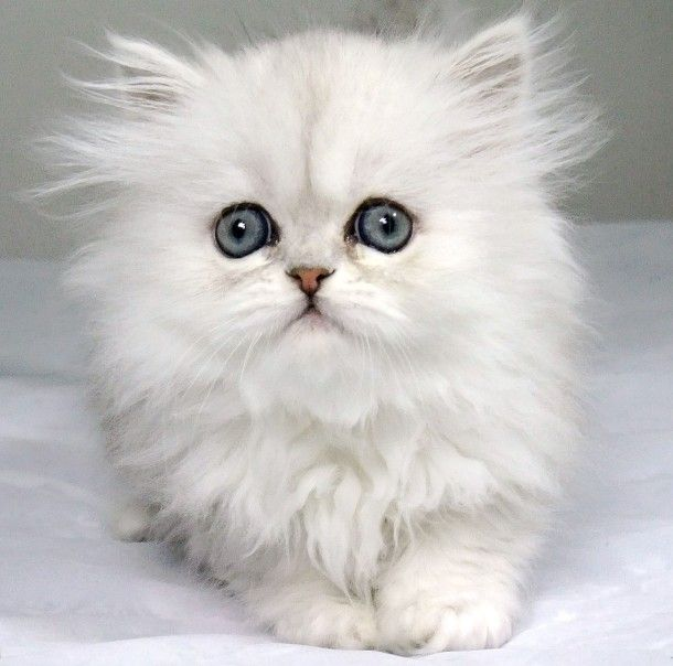 Best Persian Cats Ideas On Pinterest White Persian Cats - 13 super fluffy cats melting glass