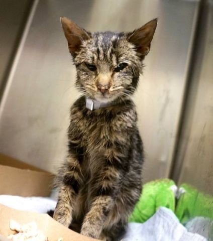 ALLANA aka ALLAN - 17066 - - Manhattan  *** TO BE DESTROYED 01/03/18 *** ALLANA was a neighborhood stray  kitten who was brought to the shelter because she looked sick.  Allana has a URI, conjunctivitis, diarrhea and is underweight.  She needs a foster or adopter to give her a place to recuperate. -  Click for info & Current Status: http://nyccats.urgentpodr.org/allana-aka-allan-17066/