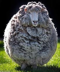 Victa the sheep had a woolly  coat that was five times his own body weight