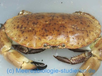 I photographed this crab during a marine biology class on the high sea island Helgoland in Germany. Crabs are very robust ocean animals! More here: http://www.meeresbiologie-studieren.de/fotogalerie.html