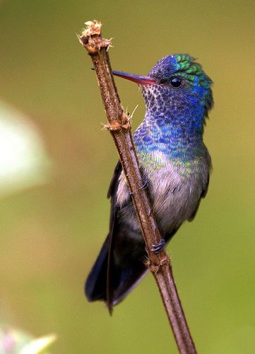 . Beija-flor-roxo (White-chinned Sapphire): Bees Hummingbirds, Hummingbird, Hum Birds, Birds Photos, Sapphire Hylochari, White Chin Sapphire, Glorious Hummingbirds, Humming Bird, Colombia Th Guiana Venezuela