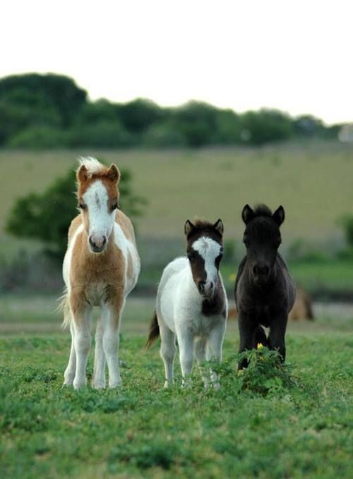 Falabella horses! So cute!