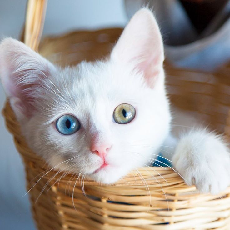 The  Van Cat is a breed unique to Turkey and is famous for its white coat and multicolored eyes! Here pet one of our cutest ones yourself! ⠀