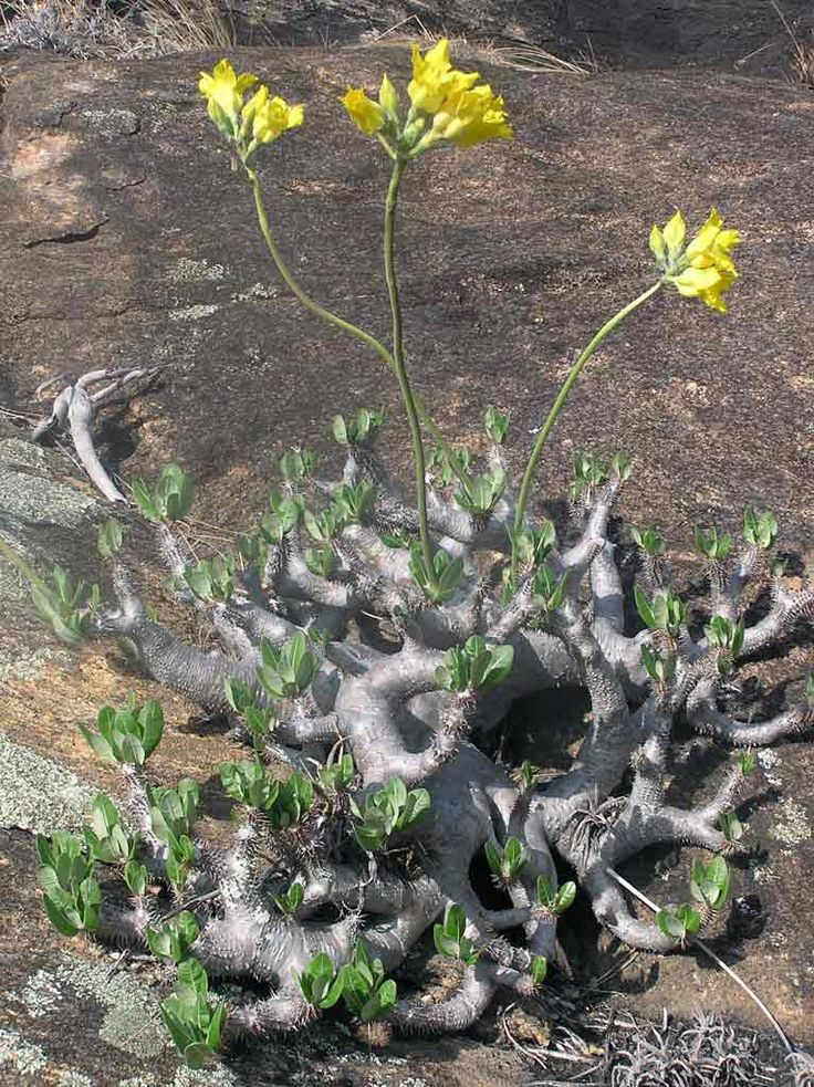 Pachypodium horombense 1 - next picture