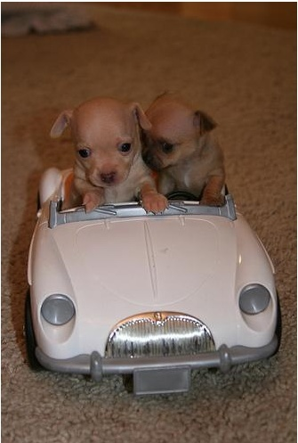 2 tiny chihuaha's in car