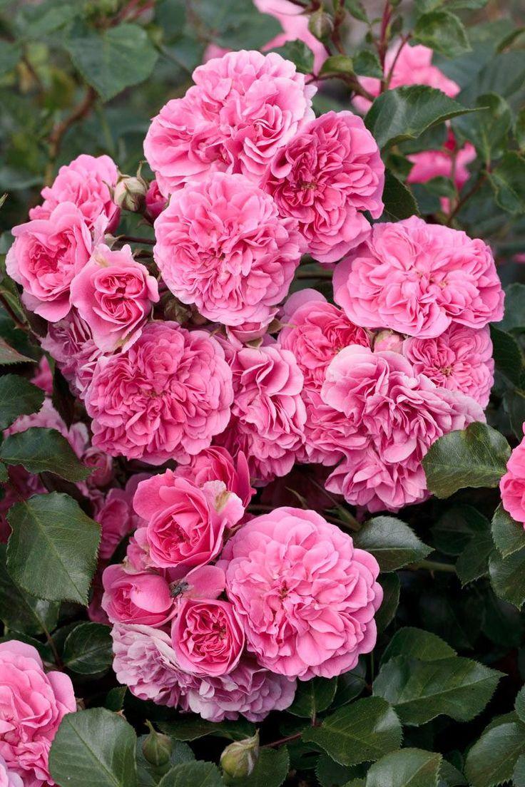 Les Quatres Saisons rosier pleureur