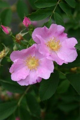 139, Native Rose, Rosa rugosa, benefits 139 species