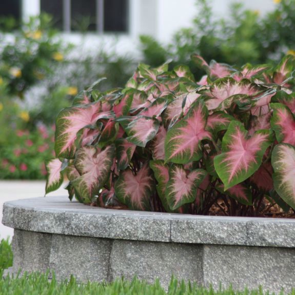 Caladium for lovely shade landscapes!