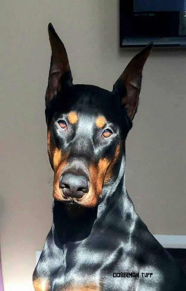 """#Doberman. It reminds me of Brock Rumlow, or Crossbones, from Captain America the Winter Soldier. He has feelings, but has been trained out of them, and does his job dispite them. """"Cap, I sware, it's nothing personal."""""""