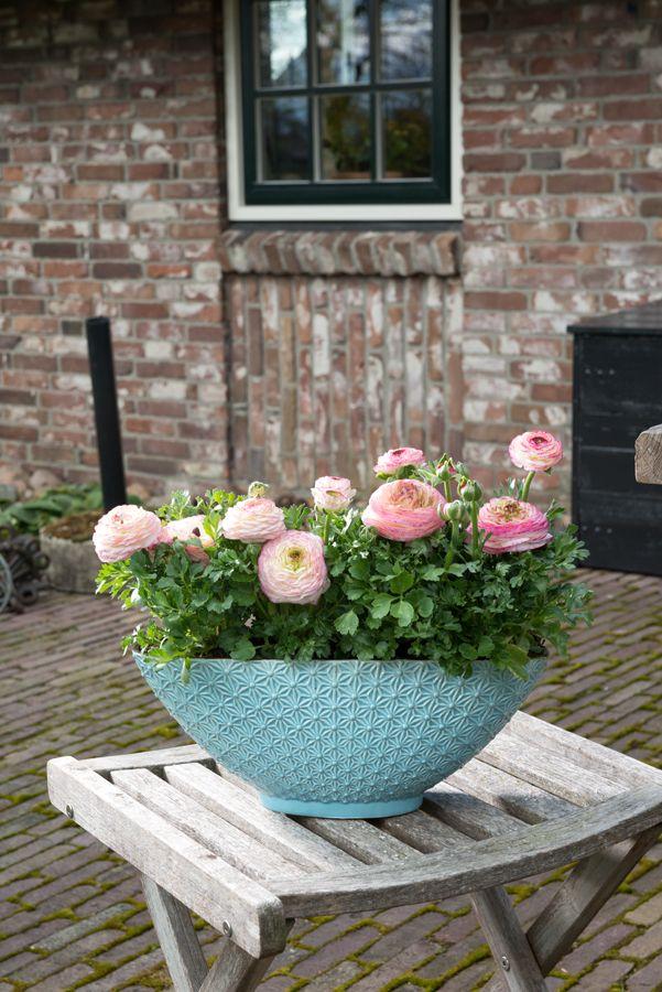 soft in pastels, romantic Ranunculus