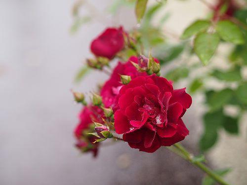 Rose, Barbra Streisand, バラ, バーブラ・ストライサンド,   Rose, Barbra Str…   Flickr