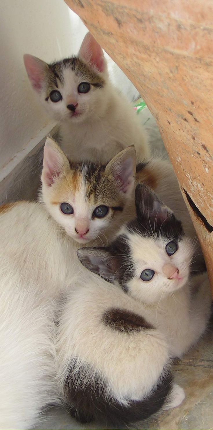 Three adorable kittens - find out about hearing loss in cats on The Happy Cat Site
