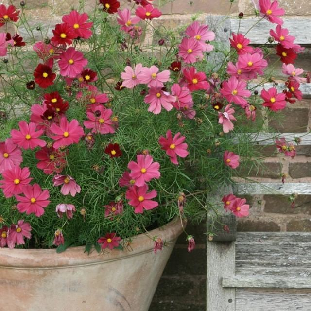Our Summer Bedding Collection Includes These Stunning Rubenza Cosmos Bipinnatus Which Flower Right Up Until The Fir Flowers Uk Container Flowers Flower Pots