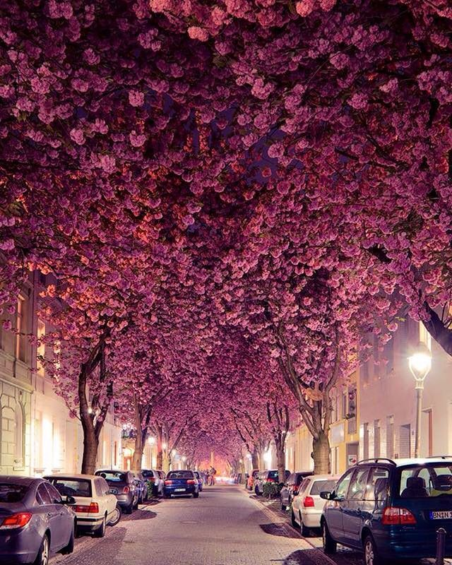 Cherry blossom trees line a streen in Bonn, Germany | Photo by @andredistel