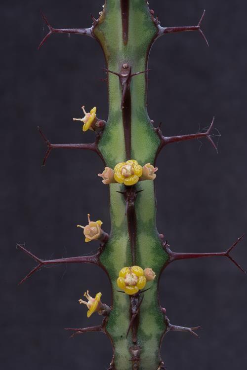 Euphorbia glochidiata