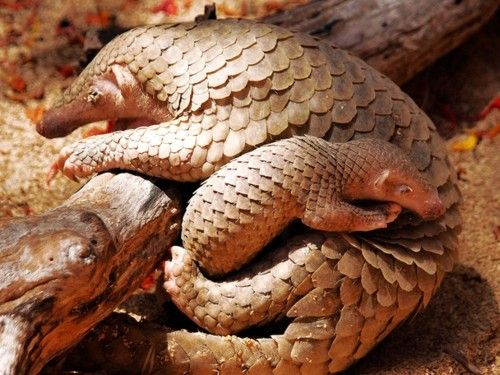 Mother and Baby Pangolin  Mamma Pangolin's carry their babies on their backs and take good care of their young.    Hunted for food and for their scales, I am wondering now if their scales are ending up in my shampoo as keratin?  No more Keratin shampoo!