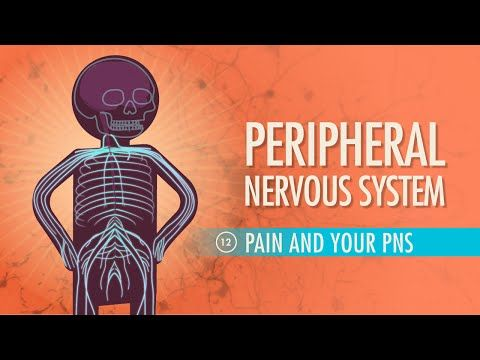 Peripheral Nervous System: Crash Course A&P #12 by thecrashcourse:It is now time to meet the system that helps your crazy brain stay in touch with the outside world. We follow up last week's tour of the central nervous system with a look at your peripheral nervous system, its afferent and efferent divisions, how it processes information, the reflex arc, and what your brain has to say about pain. Support at: http://patreon.com/crashcourse