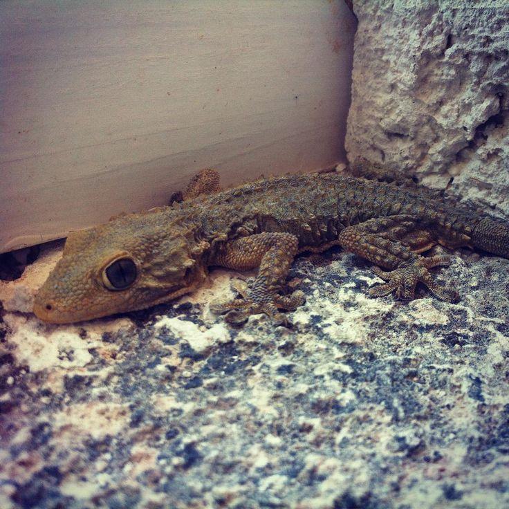 #gecko #siesta  in #puglia #salento #masseriabellolio #b&b