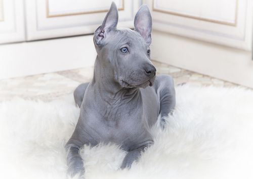 7. Thai Ridgeback - Super intelligent, this breed makes for excellent livestock guardians.