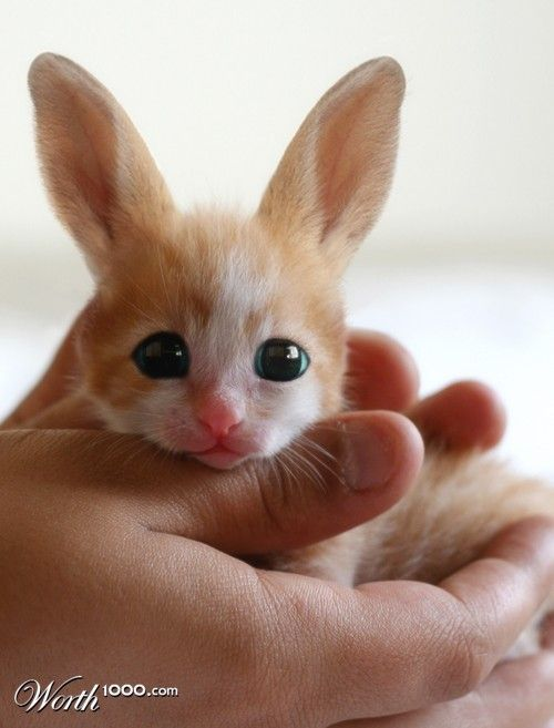 """This keeps showing up identified as a """"Rare Fennec Hare."""" That would be rare, all right, as it's non-existent. This won 1st place in a """"Sickening Cute"""" contest on Worth1000.com and is """"kitty bitty bunny,"""" by troop1.  A fennec FOX is real [http://pinterest.com/pin/175218241723714875/]; this adorable mash-up of a kitten and a rabbit is not. Original kitten photo: http://www.cuteheaven.com/kitten-in-my-hand/"""