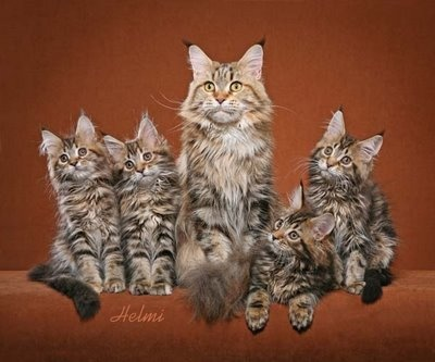 Maine Coon kittens: Cats et cetera from Helmi Flick