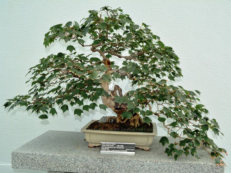 Taiwan, trident, Maple, Acer, buergerianum, spp, formosanum, bonsai, informal, upright