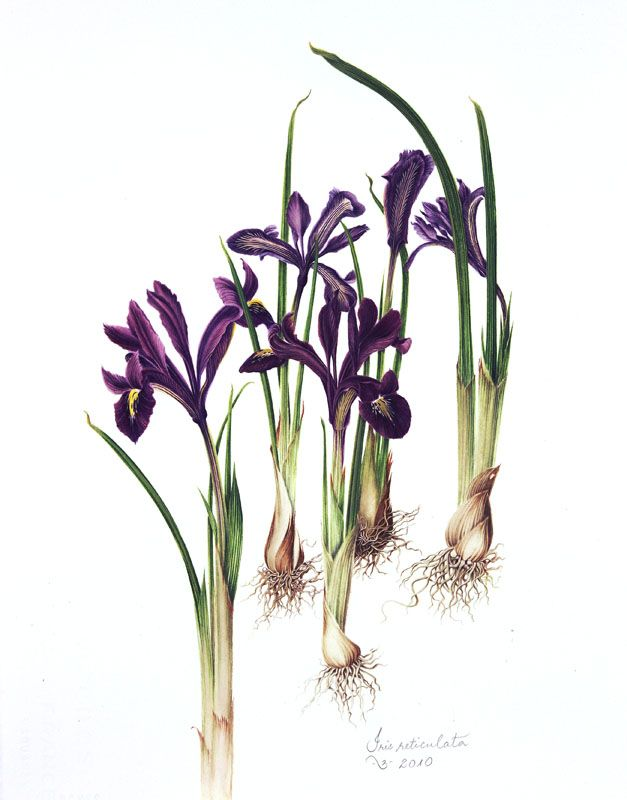 Botanical illustration of iris reticulata aka dwarf iris by Milly Acharya