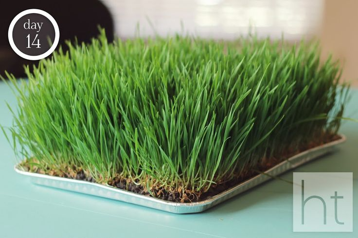 How to Grow Wheatgrass - For healthy wheatgrass shots