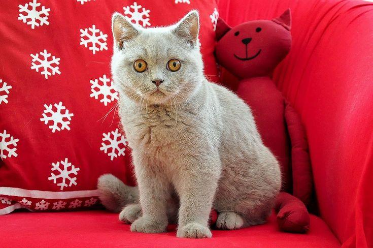 Britisch Kurzhaar, Kater, Jung, Junge Katze, Katze