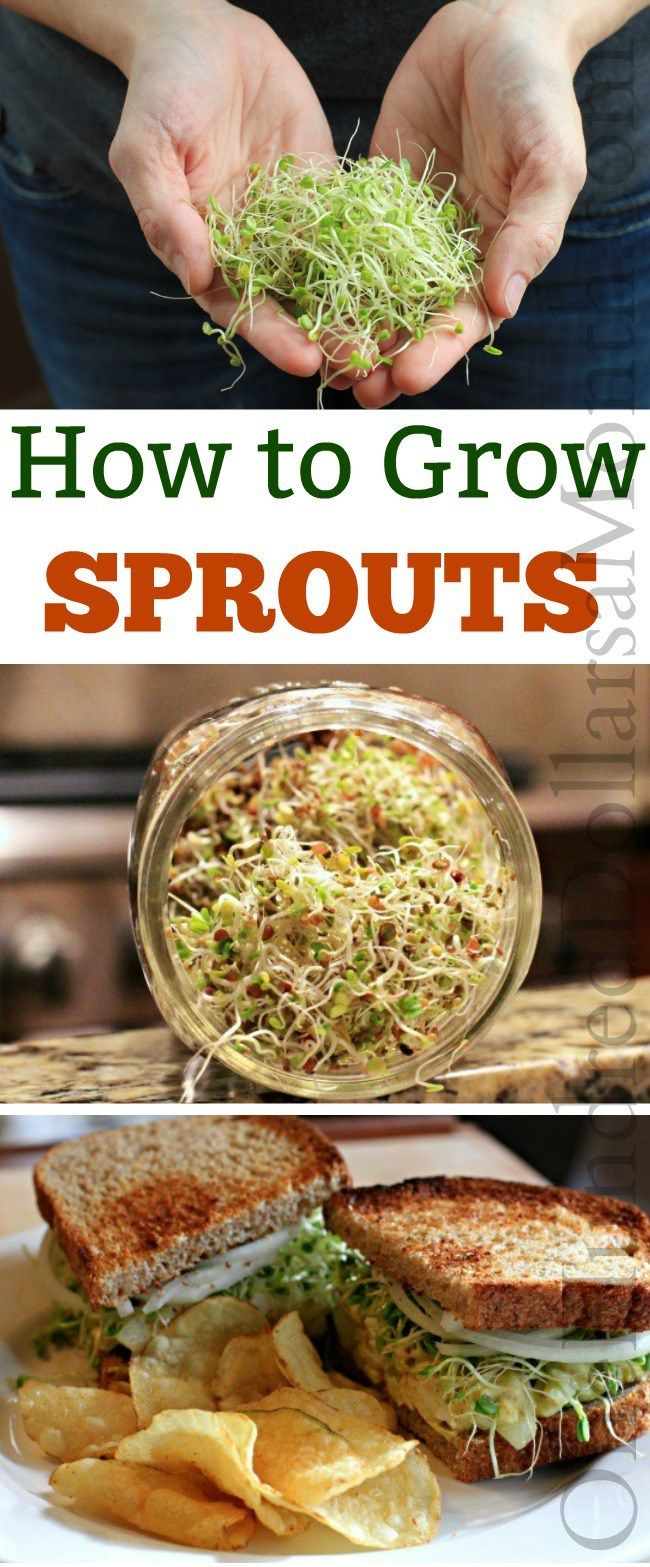 How to Grow Sprouts, Gardening Tips, Growing Sprouts, Sprouting Seeds