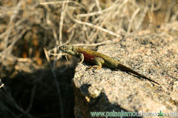 Sceloporus sp, precioso iguanido amemicano. — en Chile, La Serena.